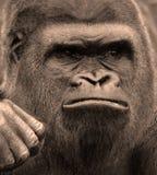 La main des gorilles sont terre-logement, singes principalement herbivores photographie stock