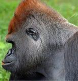 La main des gorilles sont terre-logement, singes principalement herbivores images libres de droits