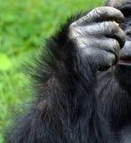 La main des gorilles sont terre-logement, singes principalement herbivores photo libre de droits