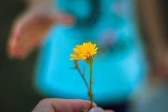 La main donne une fleur sauvage avec amour Images libres de droits