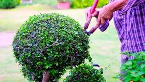 La main du jardinier a employé des cisaillements de jardin à équilibrer et à couper une haie ou une branche de l'arbre, plein HD, clips vidéos