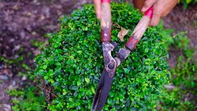 La main du jardinier a employé des cisaillements de jardin à équilibrer et à couper une haie ou une branche de l'arbre, plein HD, banque de vidéos