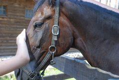 La main du ` s d'enfant frotte le cheval de baie photographie stock libre de droits