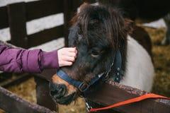 La main du ` s de fille frotte la tête du ` s de poney La main dans la veste chaude de la fille non identifiée frotte le museau d Photo stock