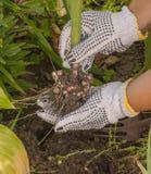 La main femelle creuse le glaïeul photo libre de droits