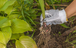 La main femelle creuse le glaïeul Photos libres de droits