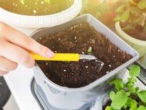 La main femelle détache la terre dans un pot de fleurs avec des jeunes plantes de petits râteaux photo libre de droits