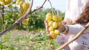 La main femelle prend un groupe de raisins Mouvement lent banque de vidéos