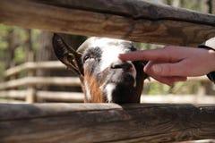 La main humaine touche le nez d'une vie de chèvre clôturée à une ferme photo libre de droits