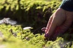 La main sélectionne un champignon d'amethystina de Laccaria Image libre de droits