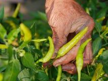 La main sale du vieil agriculteur assidu sélectionnant le piment vert frais, de beaux résultats de son dur labeur image libre de droits