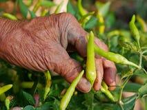 La main sale du vieil agriculteur assidu sélectionnant le piment vert frais, de beaux résultats de son dur labeur photographie stock
