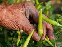 La main sale du vieil agriculteur assidu sélectionnant le piment vert frais, de beaux résultats de son dur labeur images stock