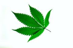 La main tient le macro feuilles fraîches de vert de marijuana de grandes (cannabis), usine de chanvre photo libre de droits