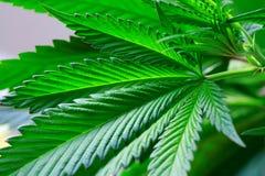 La main tient le macro feuilles fraîches de vert de marijuana de grandes (pouvez photo libre de droits