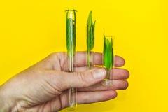 La main tient les feuilles aromatiques sur un fond, une santé et une relaxation jaunes images libres de droits