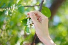 La main touche le cerisier de floraison Photos libres de droits