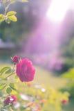 La maison a monté Roses en nature Rose vivante Vue de côté de Rose Images libres de droits