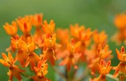 La mala hierba de mariposa del revés florece los pétalos Imágenes de archivo libres de regalías