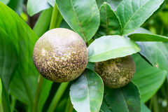 La maladie d'ulcère de citronnier Photographie stock