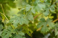 La maladie de feuille de vigne Photo stock
