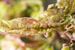 La maladie endommagée d'arbre fruitier Photos libres de droits