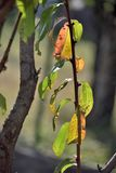 La maladie sur des feuilles de pêcher en automne photographie stock libre de droits