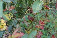La maladie végétale, les feuilles fongiques que la maladie de tache sur des roses endommage sur a monté Images libres de droits