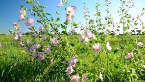 La malva rosada púrpura del prado florece el Malva almacen de video