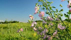 La malva rosada púrpura del prado florece el Malva metrajes