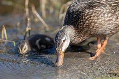 La mam? y el beb? abigarrados del pato tienen una bebida imagen de archivo libre de regalías