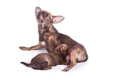 La mama de la chihuahua es cría su perrito Imágenes de archivo libres de regalías