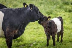 La maman ceinturée de Galloway lèche le veau Photographie stock libre de droits