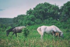 La maman de cheval blanc avec le poulain et le père noir de cheval frôlent dans la vallée accidentée d'été vert Images libres de droits
