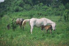 La maman de cheval blanc avec le poulain et le père noir de cheval frôlent dans la vallée accidentée d'été vert Photographie stock libre de droits
