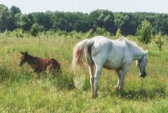 La maman de cheval blanc avec le poulain frôlent dans la vallée accidentée d'été vert Photo libre de droits