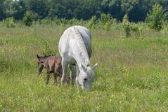 La maman de cheval blanc avec le poulain frôlent dans la vallée accidentée d'été vert Image stock