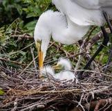 La mamma dell'airone bianco maggiore tende ai suoi neonati Fotografia Stock
