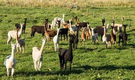 Manada de la alpaca Foto de archivo