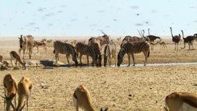 La manada de animales emprende viajes largos en busca del agua Migración de animales en la sabana africana imagenes de archivo