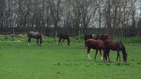 La manada de caballos jovenes pasta en el rancho de la granja, animales en el pasto del verano, cantidad completa del PDA estable metrajes
