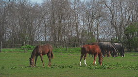 La manada de caballos jovenes pasta en el rancho de la granja, animales en el pasto del verano, cantidad completa del PDA estable almacen de metraje de vídeo
