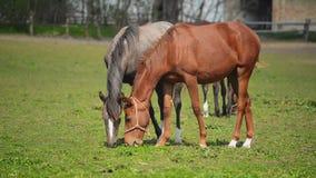 La manada de caballos jovenes pasta en el rancho de la granja, animales en el pasto del verano, PDA estable almacen de metraje de vídeo