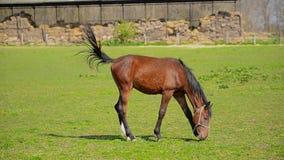 La manada de caballos jovenes pasta en el rancho de la granja, animales en pasto del verano almacen de metraje de vídeo