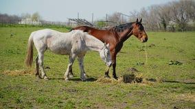La manada de caballos jovenes pasta en el rancho de la granja, animales en pasto del verano almacen de video