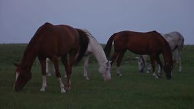 La manada de caballos pasta en las estepas metrajes