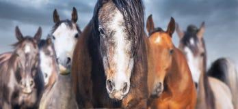 La manada de caballos se cierra para arriba, bandera Fotografía de archivo