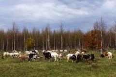 La manada de cabras hace estallar en el campo fotos de archivo libres de regalías