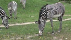 La manada de la cebra comía grevyi del Equus de la hierba almacen de metraje de vídeo