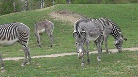La manada de la cebra com?a grevyi del Equus de la hierba almacen de metraje de vídeo